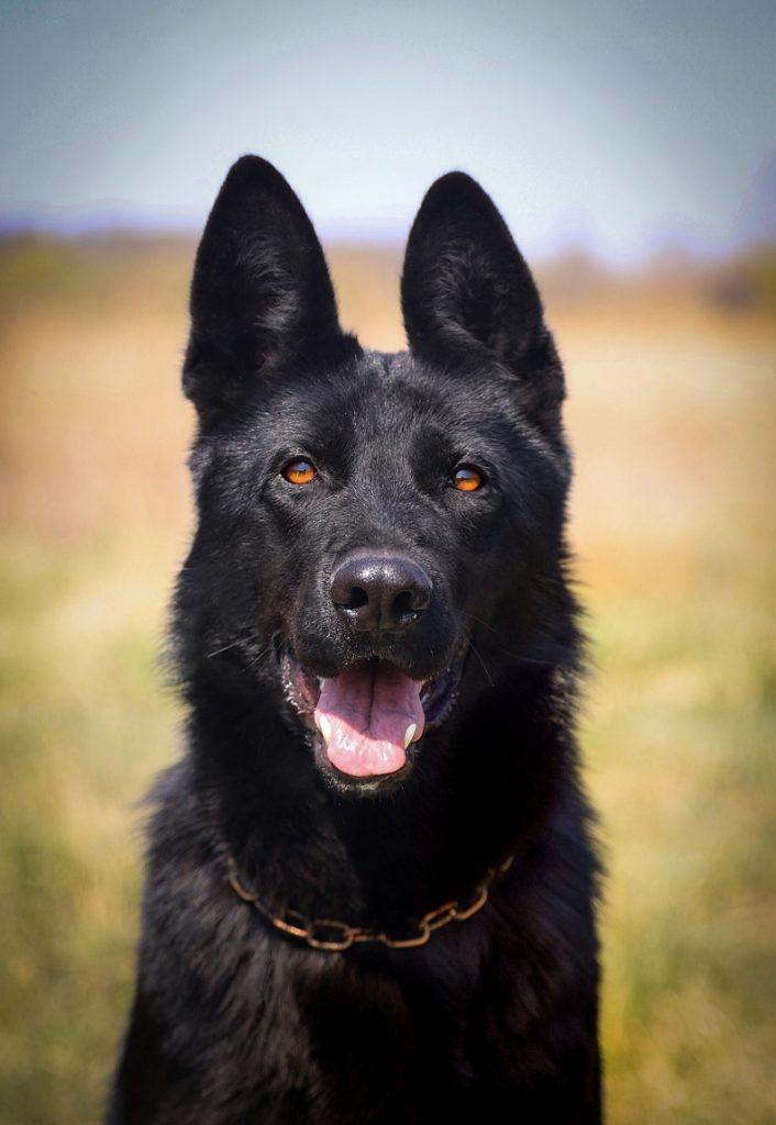Black German Shepherd - list of names for black dogs