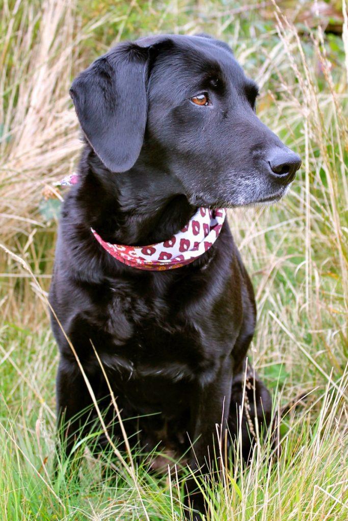 Black labrador retriever in profile - names for black dogs