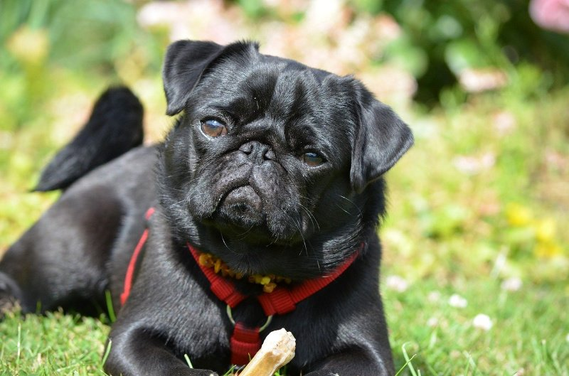 Black pug - are black dogs less likely to get adopted