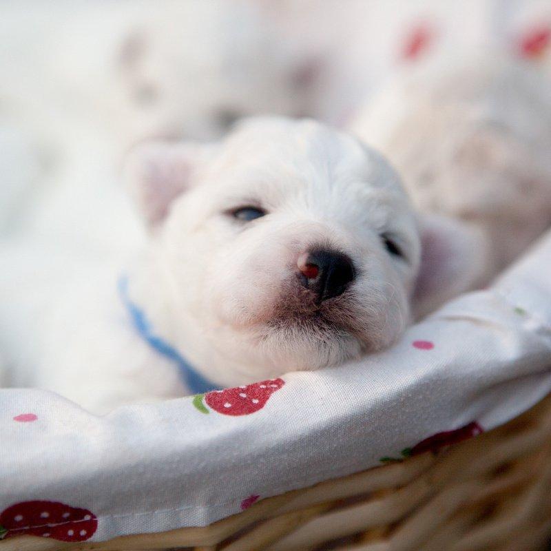White puppy in basket