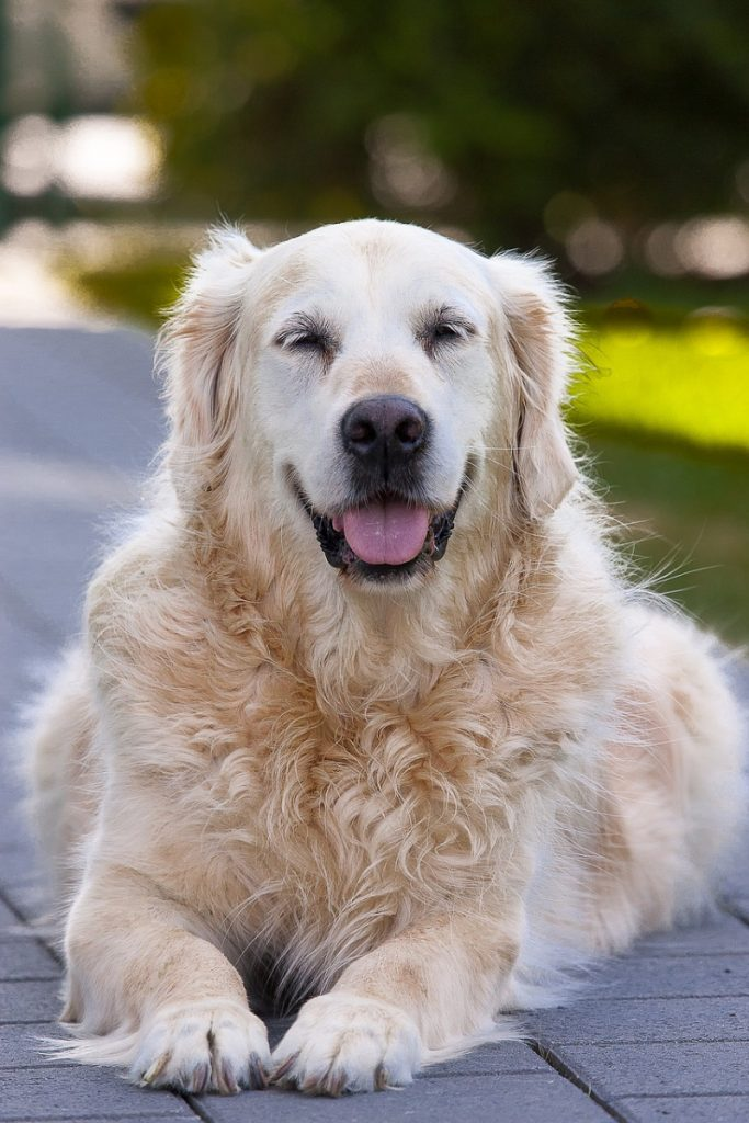 Adult golden retriever laying down with eyes closed - names for Golden Retrievers