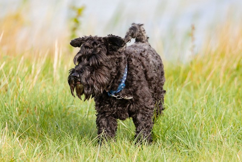 Small black dog standing in the grass - black dog names