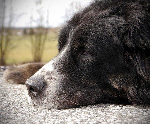 Bernese Mountain Dog - senior dog