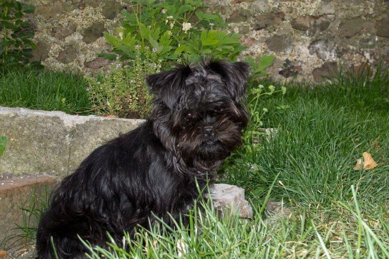 Black Affenpinscher dog sitting in grass next to stone wall