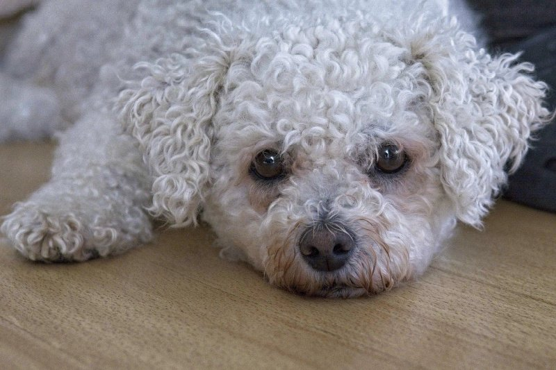White bichon frise dog laying on wooden floor