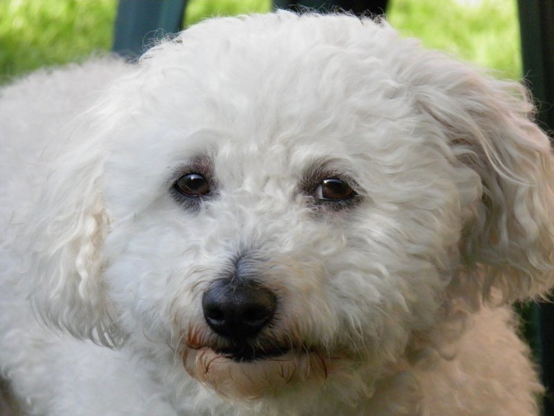 White Bolognese dog close up - small dogs that don't shed