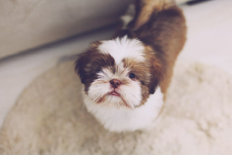 Brown and white Lhasa Apso dog sitting on grey floor