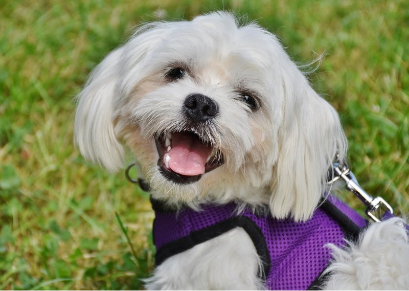 White Maltese looking at camera with mouth open - dogs that shed the least