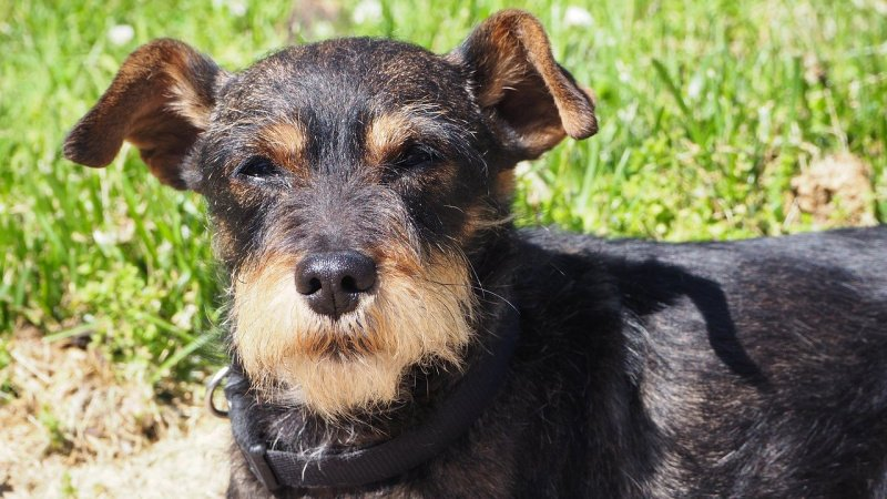 Black and brown miniature schnauzer dog standing in grass