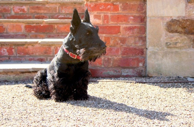 Black Scottish terrier sitting on gravel with brick wall background