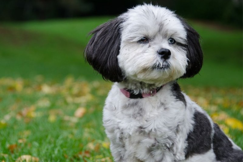 Black and white Shih Poo puppy sitting in grassy field