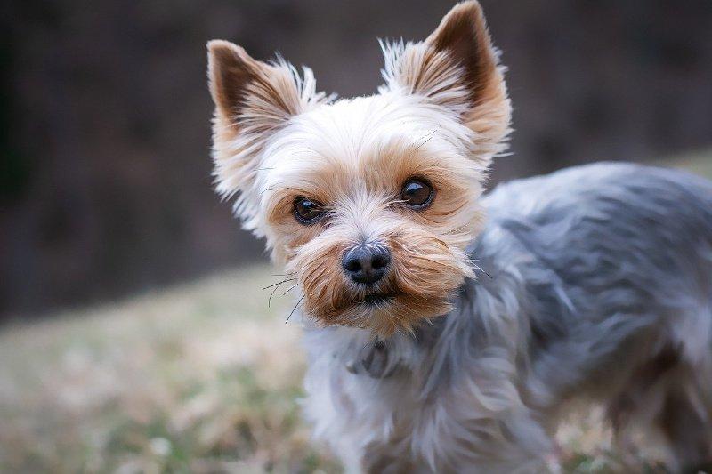 Yorkie dog up close