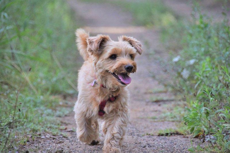 Tan Yorkshire Terrier walking down sidewalk