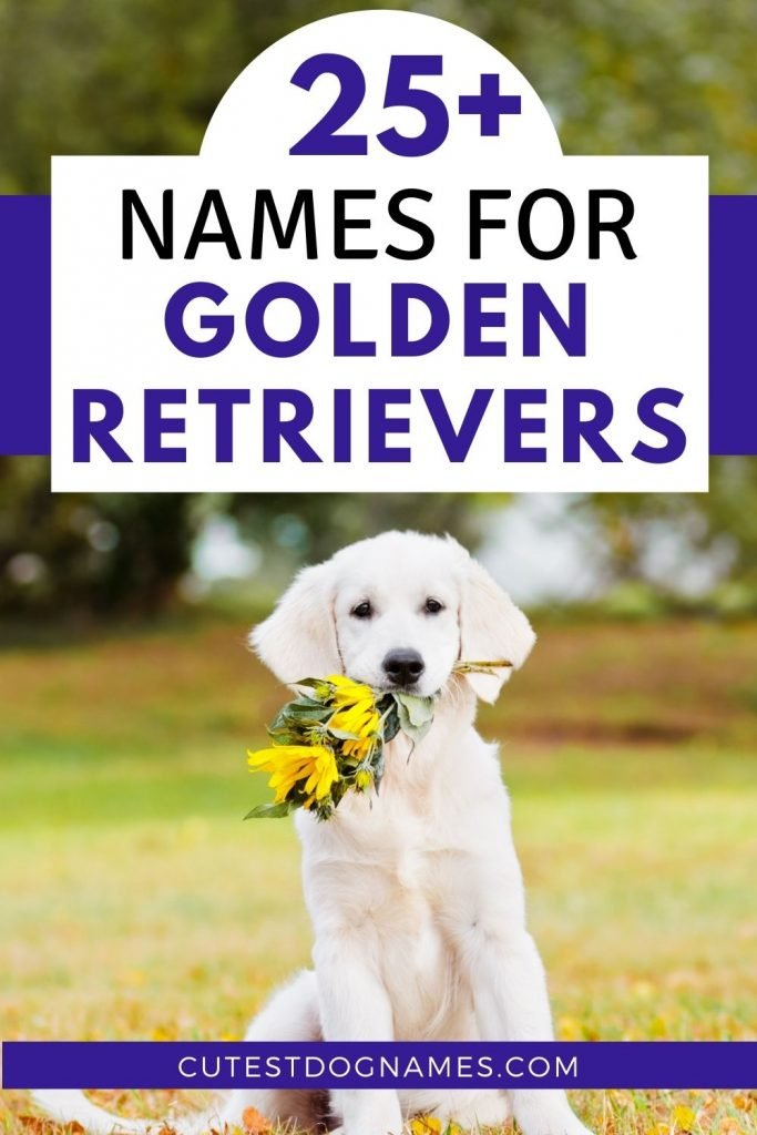 White golden retriever sitting in field holding sunflowers in its mouth - 25 names for golden retrievers
