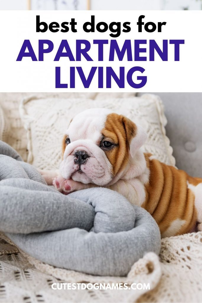 bulldog on sofa with blanket and pillows - best dogs for apartment living