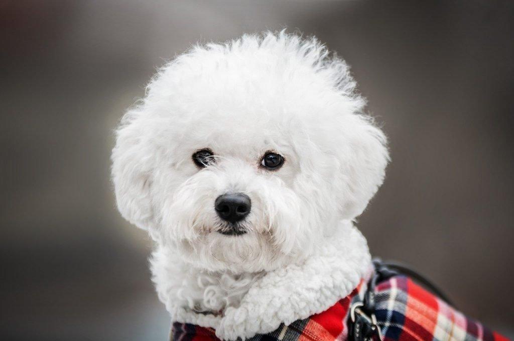 White dog bichon frise with plaid coat - white dog breeds