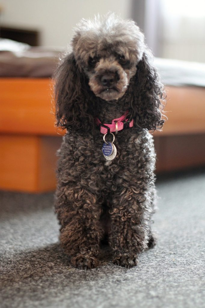 Black miniature poodle sitting in front of bed - dogs in small apartments