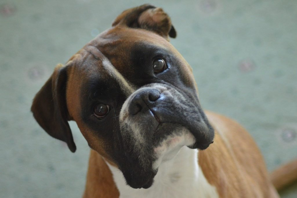 Brown and black boxer dog