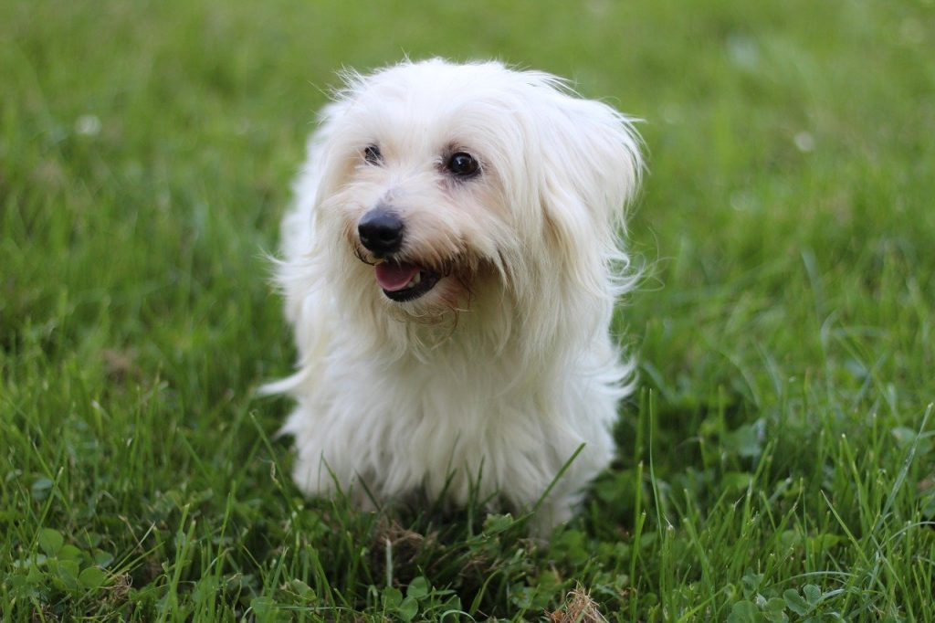 White coton de tulear dog in grass - dog with white fur