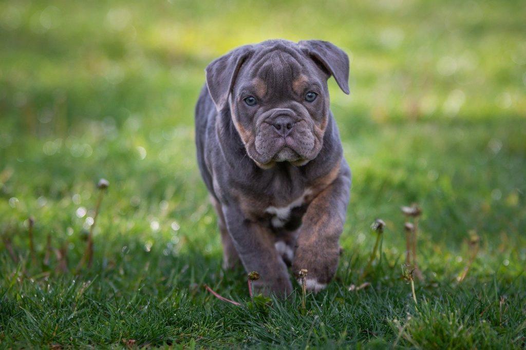 Black and brown English bulldog walking in grass