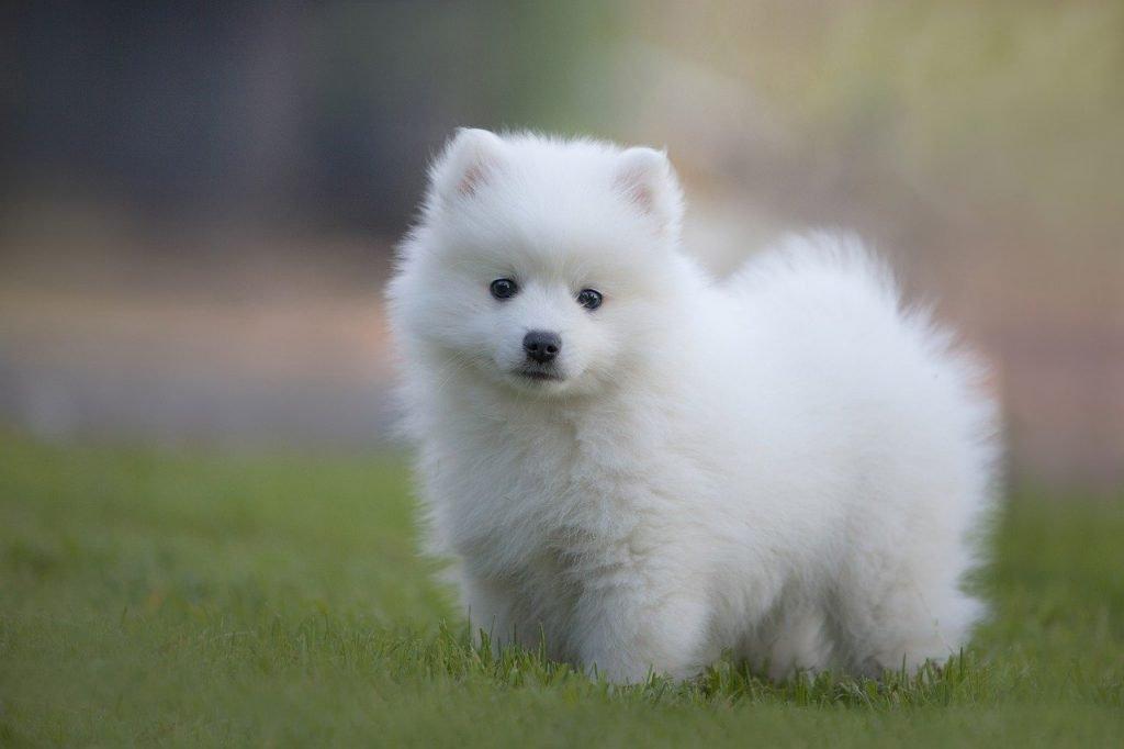 White fluffy dog Japanese Spitz standing on grass