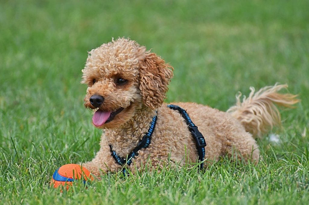 Light brown poodle standing in grass - are dogs good for families