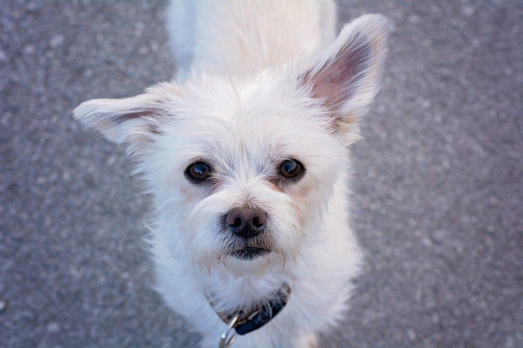 Maltese dog with white fur - names for dogs that are white