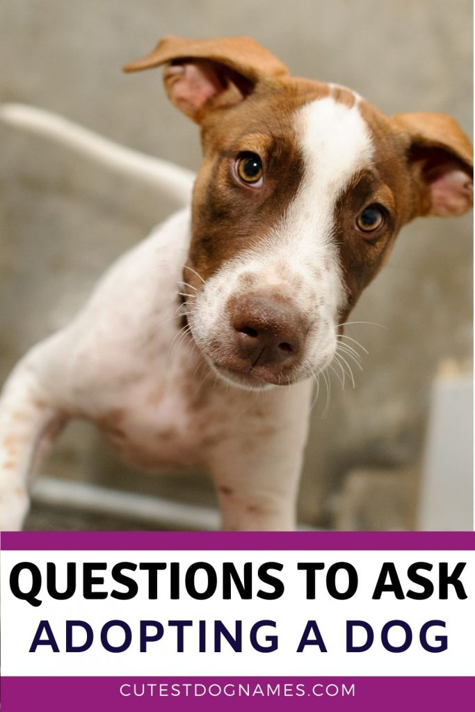 Brown and white dog - what questions to ask when you adopt a dog