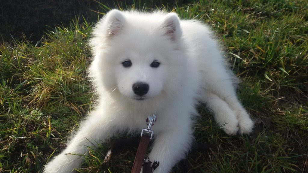 White puppy samoyed laying down on grass - names for white dogs