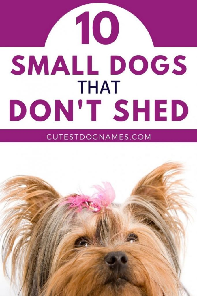 Tan Yorkie dog with pink ribbon in hair looking up - small dogs that don't shed