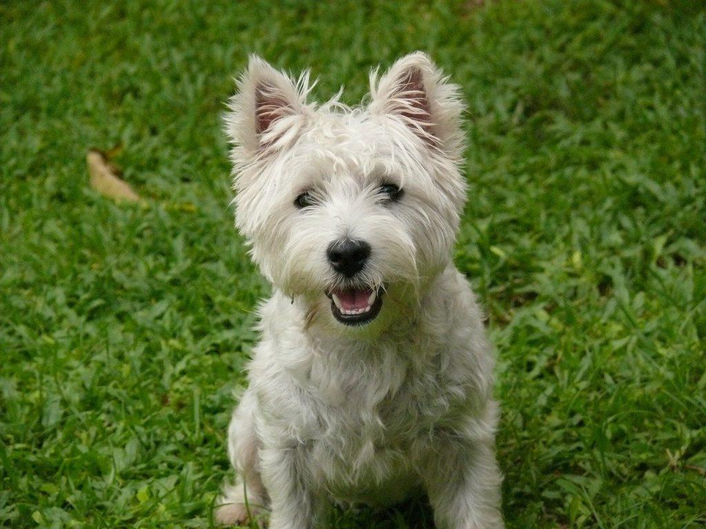 West Highland Terrier white fur dog