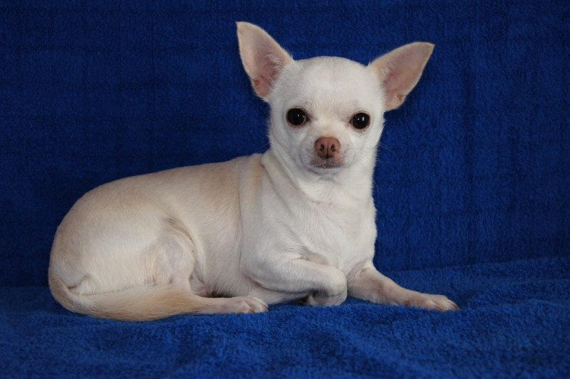 white chihuahua puppy laying on blue blanket