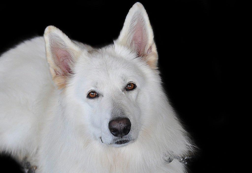 White German Shepherd dog laying down