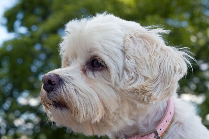 profile of white Havanese dog with pink collar - names for dogs that are white