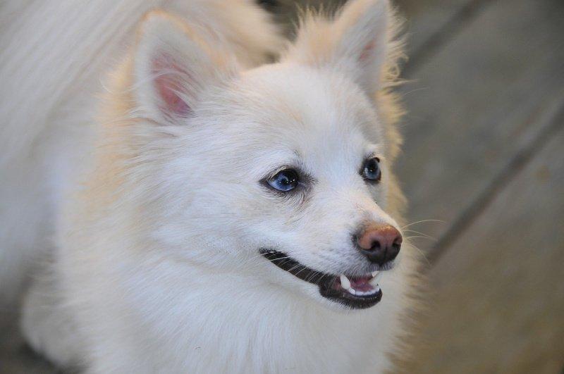 white Pomeranian dog profile - names for white dogs