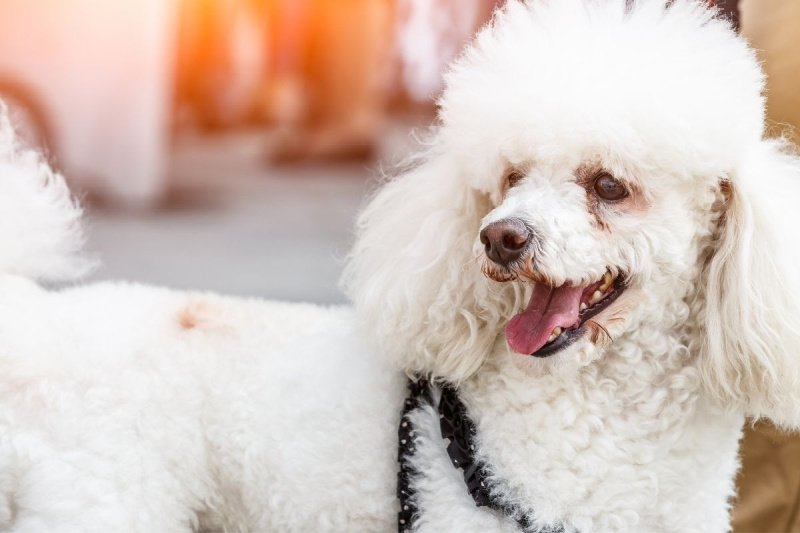 Happy white poodle dog - dog with white fur