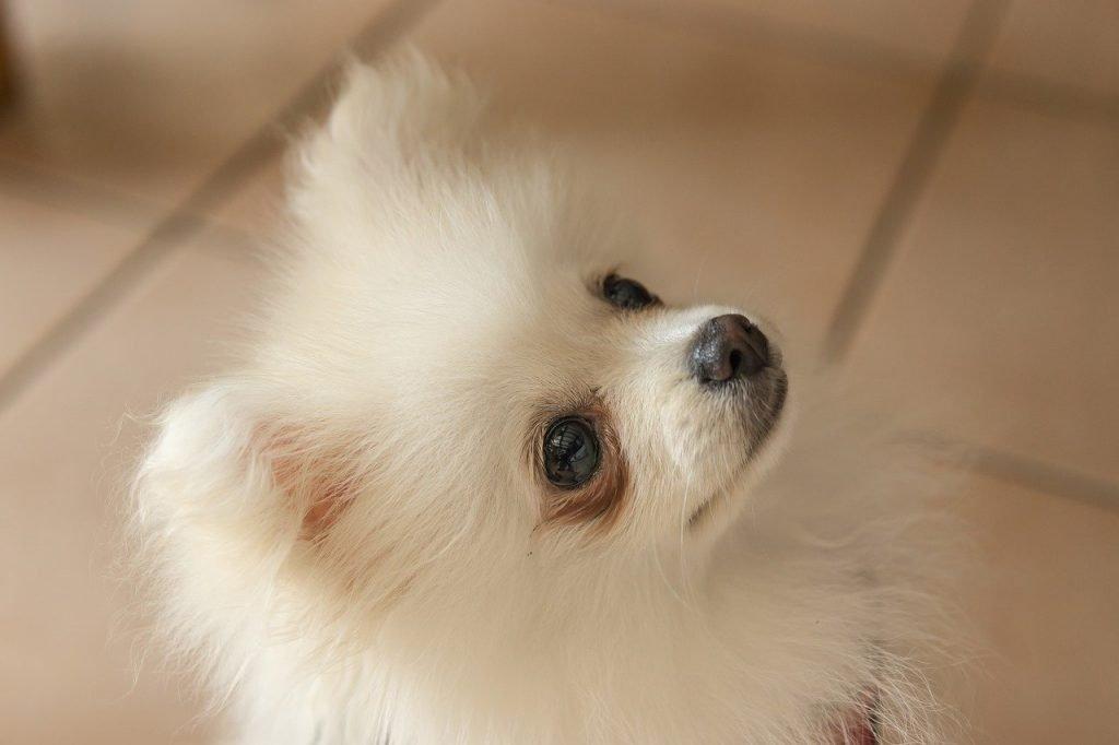 White pomeranian dog with dark tear stains around eyes - white dog fur discloration