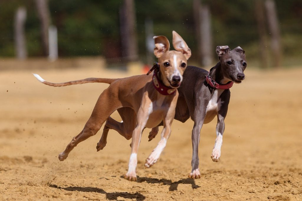 Brown and black greyhounds running