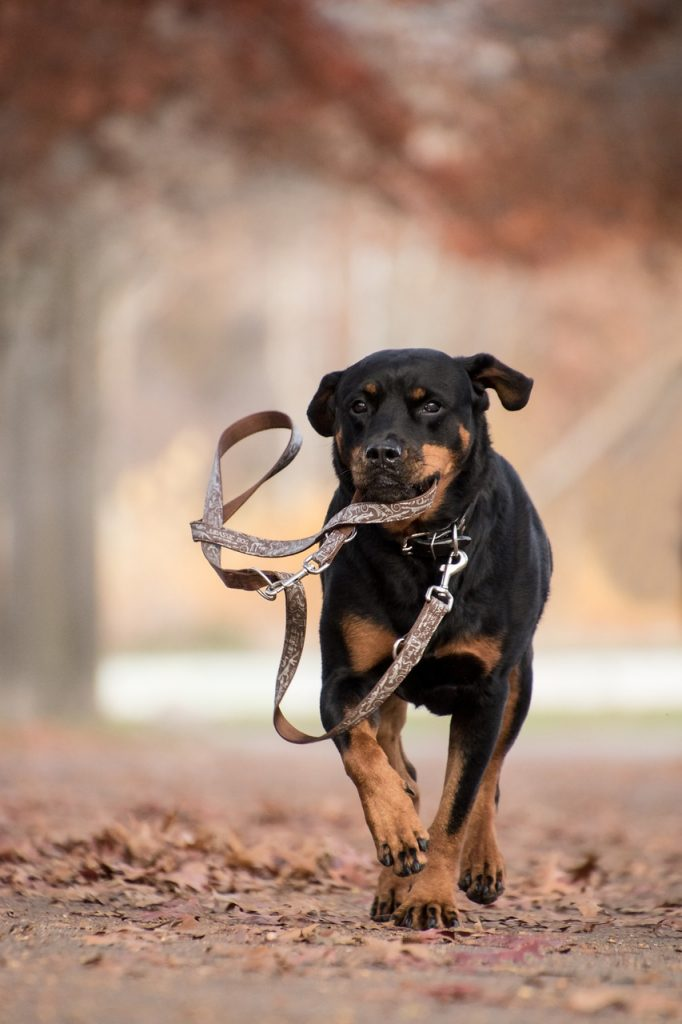 Rottweiler running holding leash - what is the best dog for running